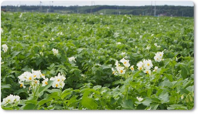 ジャガイモ花